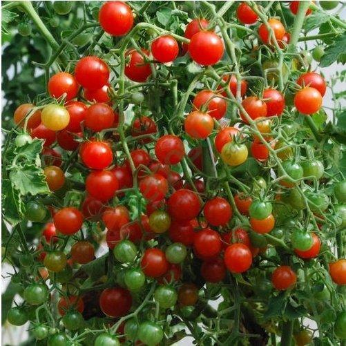çeri domates