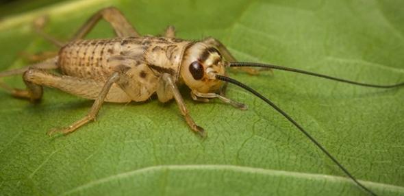 cırcır böceği