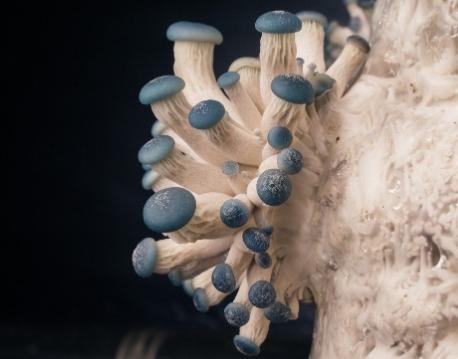mavi istiridye mantarı